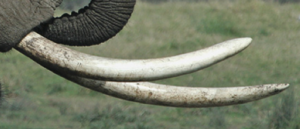 elephant tusks 3